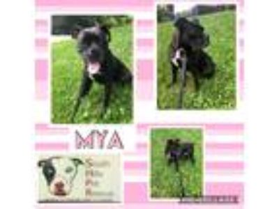 Adopt Mya a Black - with White Boxer / Mixed dog in South Park, PA (25889140)