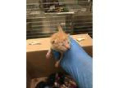 Adopt BLUE MOON a Orange or Red (Mostly) Domestic Shorthair / Mixed (short coat)