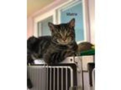 Adopt Matrix a Domestic Short Hair
