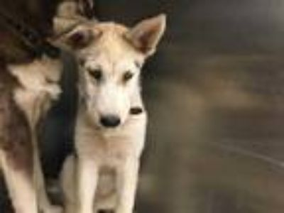 Adopt HAIRY MULLIGAN a Tan/Yellow/Fawn - with White Husky / Mixed dog in Grand