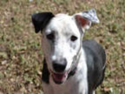 Adopt SADIE a Black - with White Catahoula Leopard Dog / Pointer / Mixed dog in