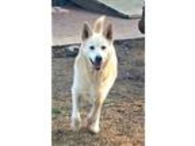 Adopt Davey a White German Shepherd Dog / Husky / Mixed dog in Mocksville