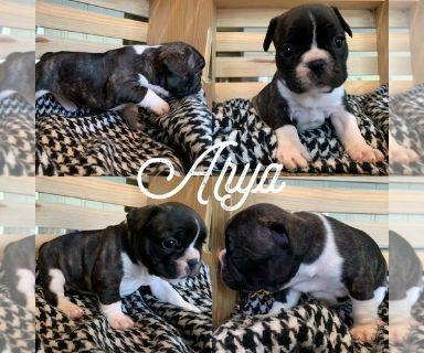 French Bulldog PUPPY FOR SALE ADN-129808 - French bulldog puppies