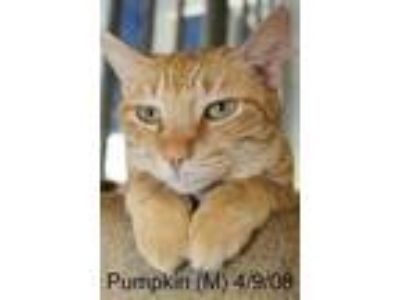Adopt Pumpkin a Domestic Shorthair / Mixed cat in Mission, TX (20637948)