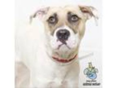 Adopt Mitzi a White - with Tan, Yellow or Fawn Shepherd (Unknown Type) dog in