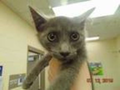 Adopt PEARL a Gray or Blue Domestic Shorthair / Mixed (short coat) cat in