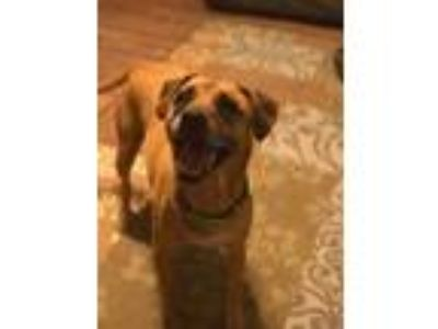 Adopt Danner a Tan/Yellow/Fawn Boxer / Rhodesian Ridgeback / Mixed dog in