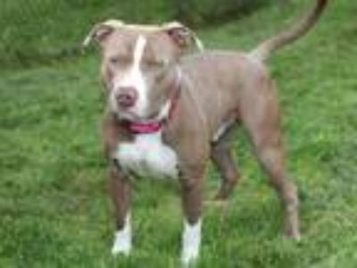 Adopt Hemmingway a Pit Bull Terrier
