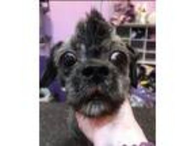 Adopt Sparky a Shih Tzu / Mixed dog in Island Lake, IL (25267417)