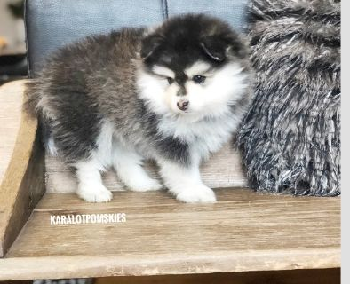 Pomsky PUPPY FOR SALE ADN-108291 - Pomsky Puppy for Sale