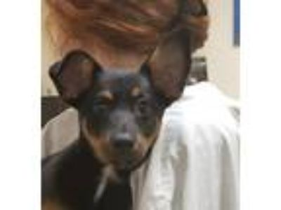 Adopt Cali a Dachshund / Terrier (Unknown Type, Medium) / Mixed dog in