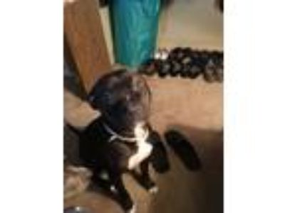 Adopt Petey a Black American Pit Bull Terrier / Mixed dog in Tampa