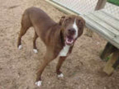Adopt LOUIE a Brown/Chocolate - with White American Pit Bull Terrier / Mixed dog