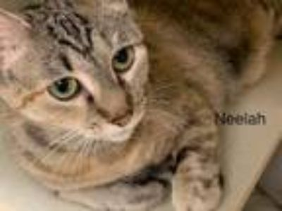 Adopt Neelah a Domestic Short Hair, Tabby