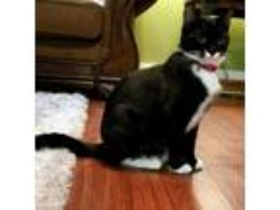Adopt Mittens a Domestic Shorthair / Mixed (short coat) cat in Nashville