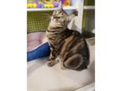 Adopt Raindrop Moon - bring on the feather toys! a Tabby, Exotic Shorthair