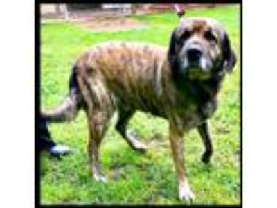 Adopt Goliath a Mastiff / Great Pyrenees / Mixed dog in Denison, TX (25230603)