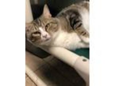 Adopt Erma Jean a White Domestic Shorthair / Domestic Shorthair / Mixed cat in