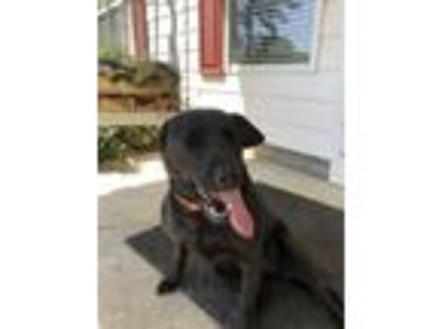 Adopt Jill a Black Labrador Retriever / Hound (Unknown Type) / Mixed dog in