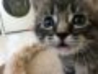 Darcy Domestic Short Hair Cat