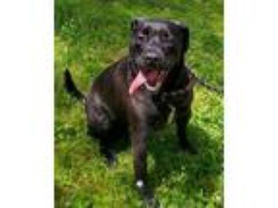 Adopt Arnie a Labrador Retriever, Pit Bull Terrier