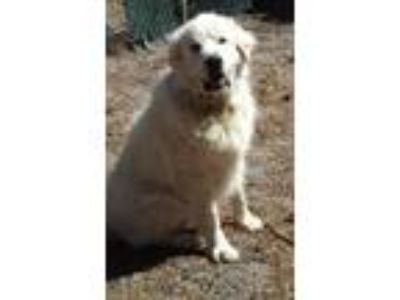 Adopt Ed a White Great Pyrenees / Mixed dog in Lee, MA (25265741)