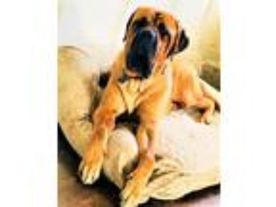 Adopt Cookie a Tan/Yellow/Fawn - with Black Mastiff / Mixed dog in Denton