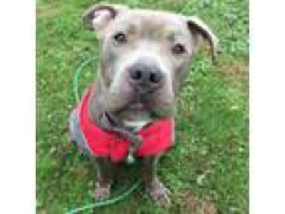 Adopt Astro a Gray/Blue/Silver/Salt & Pepper Pit Bull Terrier / Mixed dog in