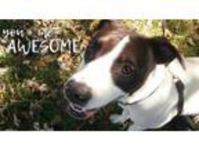 Adopt Marilyn a White - with Black Smooth Fox Terrier / Retriever (Unknown Type)