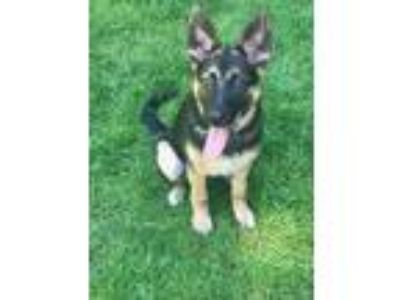 Adopt Vivienne a Black - with Tan, Yellow or Fawn German Shepherd Dog / Mixed