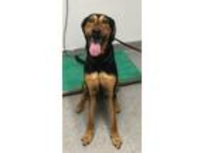 Adopt Jane a Doberman Pinscher / Greyhound / Mixed dog in Escondido