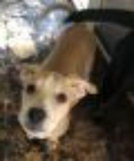 Harlow Pointer - Pit Bull Terrier Dog