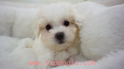 Maltipoo Puppy- Male- Johnny ($1.299)