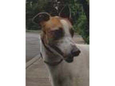Adopt Carrie a Red/Golden/Orange/Chestnut - with White Greyhound / Mixed dog in