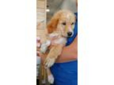 Adopt 3 golden retriever mix pups a Golden Retriever, Labrador Retriever