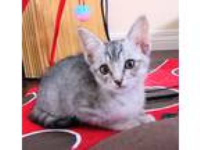 Adopt Sunshine a Gray, Blue or Silver Tabby Domestic Shorthair (short coat) cat