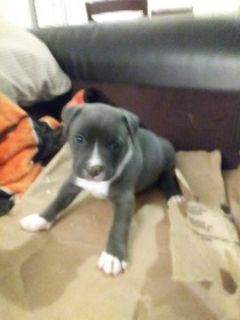 American Pit Bull Terrier PUPPY FOR SALE ADN-54270 - 6 Adorable Tri Pitbull Puppies
