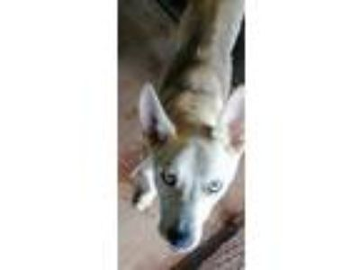 Adopt Eko a German Shepherd Dog, Husky