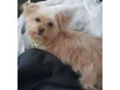 Adopt Roman a Yorkshire Terrier