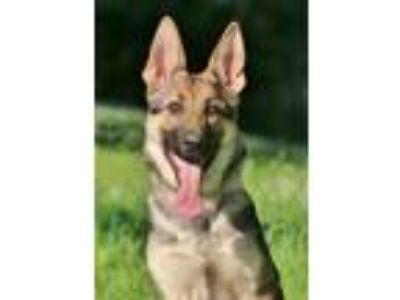 Adopt Sedona a German Shepherd Dog