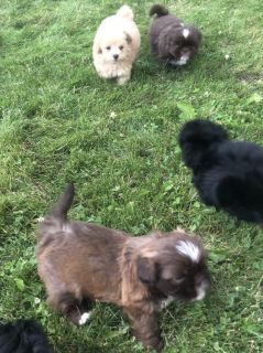 Shih Tzu and Malshi Puppies