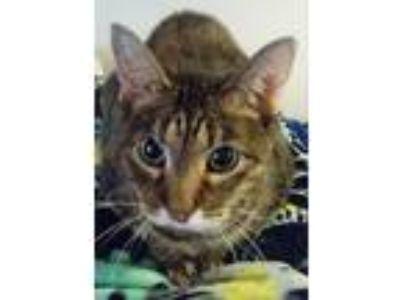 Adopt Sweet Pea a Tortoiseshell American Shorthair / Mixed cat in Lakewood