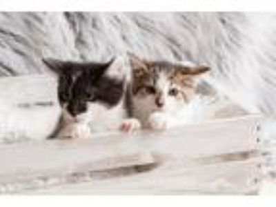 Adopt Oliver & Porcupine (Bonded Pair) a Domestic Short Hair