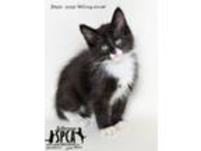 Adopt And More Kittens a Domestic Medium Hair
