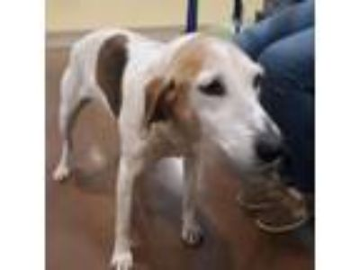 Adopt Jane a White - with Tan, Yellow or Fawn Foxhound dog in Lynchburg