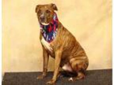 Adopt MARCUS a Brindle - with White American Pit Bull Terrier / Mixed dog in