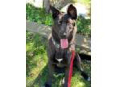 Adopt Meredith a Black - with White Border Collie / German Shepherd Dog dog in