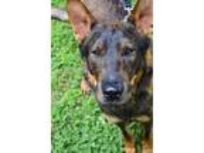 Adopt Scooter a Black German Shepherd Dog / Mixed dog in Rockville