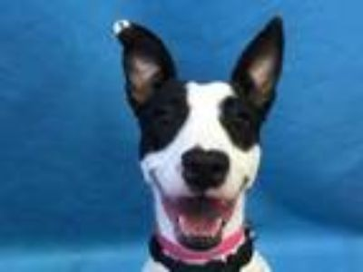 Adopt Scarlett a White Jack Russell Terrier / Mixed dog in St.