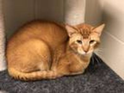 Adopt Abel a Domestic Short Hair
